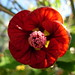 Small photo of Abutilon