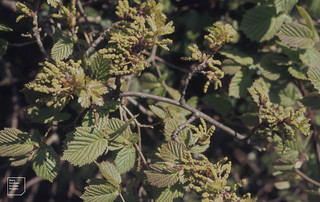 Quercus robur catkins in hazel hedge. Dinas Powys. April 1976