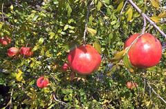 Turkey (Istanbul) Pomegranades1