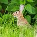 Rabbit 500_2387.jpg
