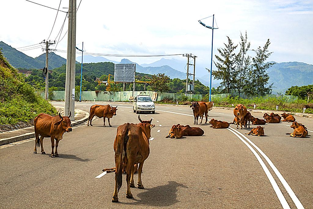 Cows--Tan Thanh