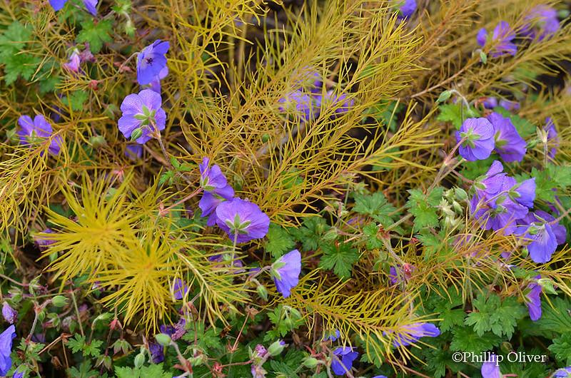 amsonia-geranium-rozanne-2