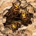 European hornets (Vespa crabro) defending hole in nest
