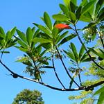 Elaeocarpus angustifolius leaves