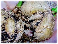 Edible tuberous roots of Psophocarpus tetragonolobus (Four-angled Bean, Winged Bean/Pea, Princess/Asparagus Pea, Manila/Goa Bean, Kacang Botol in Malay), 28 Sept 2017