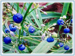 Succulent and violet-blue fruits of Dianella ensifolia (Umbrella Dracaena, Flax Lily, Common Dianella, Sword-leaf Dracaena, Cerulean Flax-lily, Siak-Siak in Malay), 3 Oct 2017