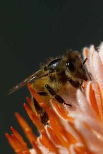 Bee on banksia