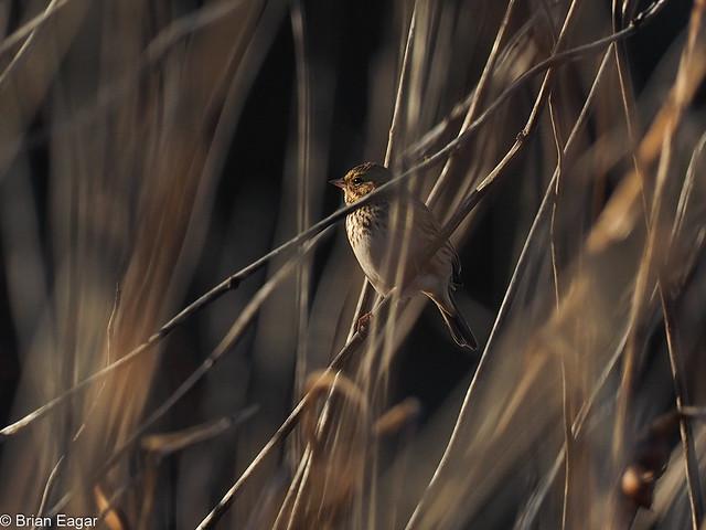 unknown little bird in the reeds