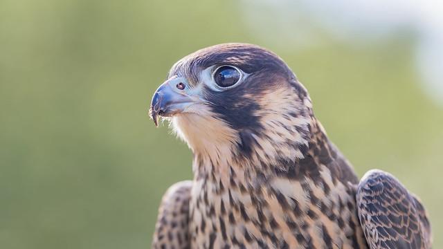 A falcon portrait...