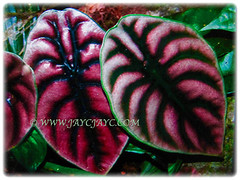 Fabulous leaves of Alocasia cuprea (Giant Caladium, Elephant's Ear, Jewel Alocasia) that are striped with bands of bright metallic copper, 29 Oct 2017