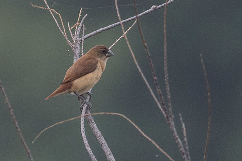 Black-headed Munia  juvenile