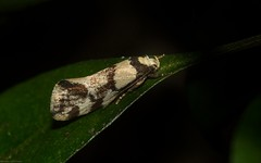 ubiquitous rainforest moth