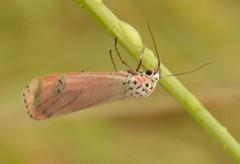 Utheteisa ornatrix (Linnaeus, 1758)