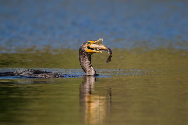 Cormoran à aigrettes / Double-crested cormorant