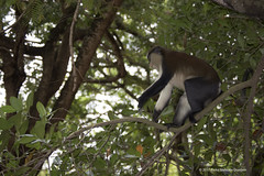 A very versatile guenon, which is the mona monkey