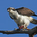 Osprey and fish at Sandy Hook