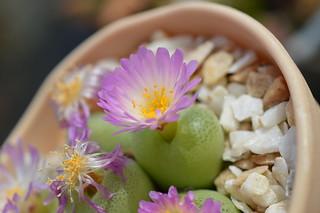 DSC_6682 Conophytum pillansii  コノフィツム ピランシー 翠光玉