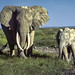Small photo of African Bush Elephant, Amboseli National Park, Kenya
