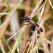 Small photo of Ammophila pictipennis