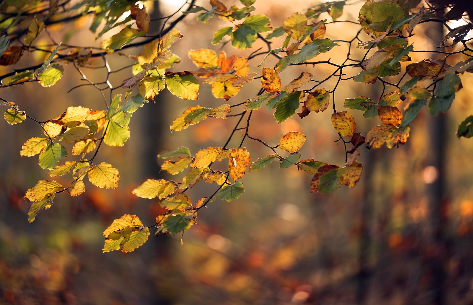 Autumn beech leaves bokeh