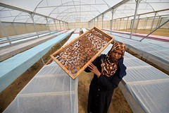 Palestinian women from Gaza work on the industry of presssed date.