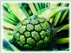 Greenish fruit of Pandanus Baptistii Variegated (Gold-striped Screw Pine, Variegated Screw Pine, Compact Golden Screw Pine), 11 Oct 2017