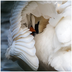 HolderMute Swan