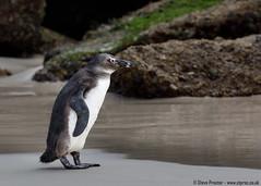 African Penguin (2)