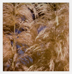 White Feather Pampas