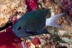 Blue axil Chromis - Chromis caudalis
