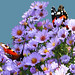 Peacock and red admiral: September. by VolVal