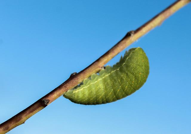 Iphiclides podalirius (Linnaeus, 1758) - caterpillar