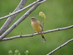 Palm warbler with prey
