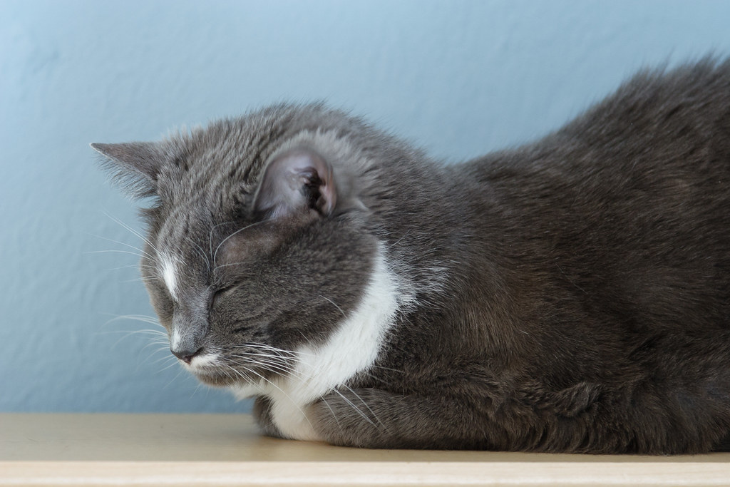 Our gray tuxedo cat Templeton sleeping on top of my bookcase
