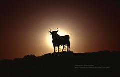 Astorga, Osborne bull