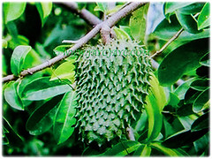 Captivating fruit of Annona muricata (Soursop, Prickly Custard Apple, Durian Belanda in Malay) attached on its greyish stem, 22 Oct 2017