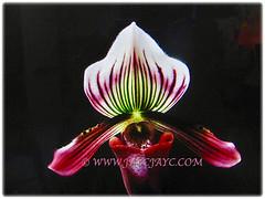 Lovely dark plum-purple pouch of Paphiopedilum barbatum (Slipper Orchid, Bearded Paphiopedilum, Lady's Slipper), 23 Oct 2017