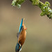 Female Kingfisher diving by Larry D James