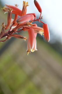 DSC_7035 Aloe cv. DZ  (Debra Zimmerman)