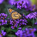 Rosecliff Butterfly