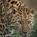 Amur Leopard Close Up