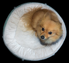 Boo the Pomeranian.