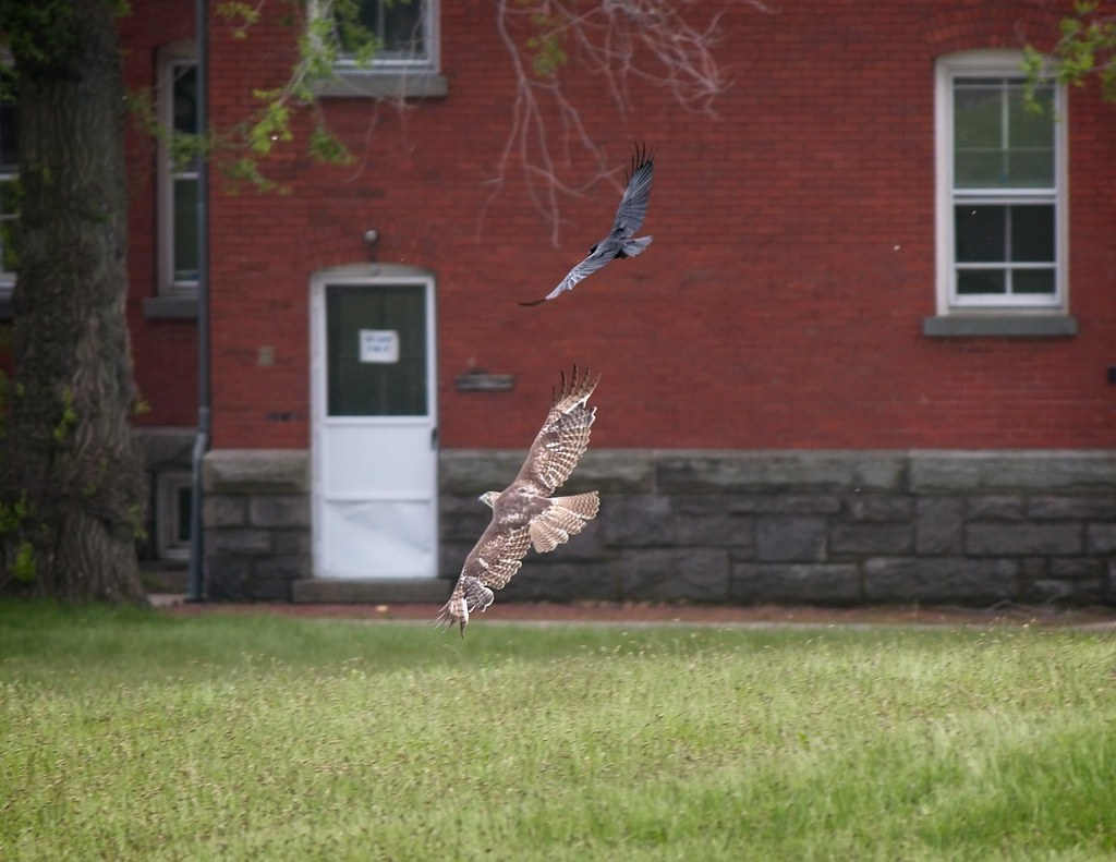 Fish crow chases red-tailed hawk