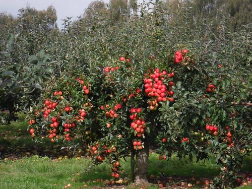 Apple Orchard, Bogle