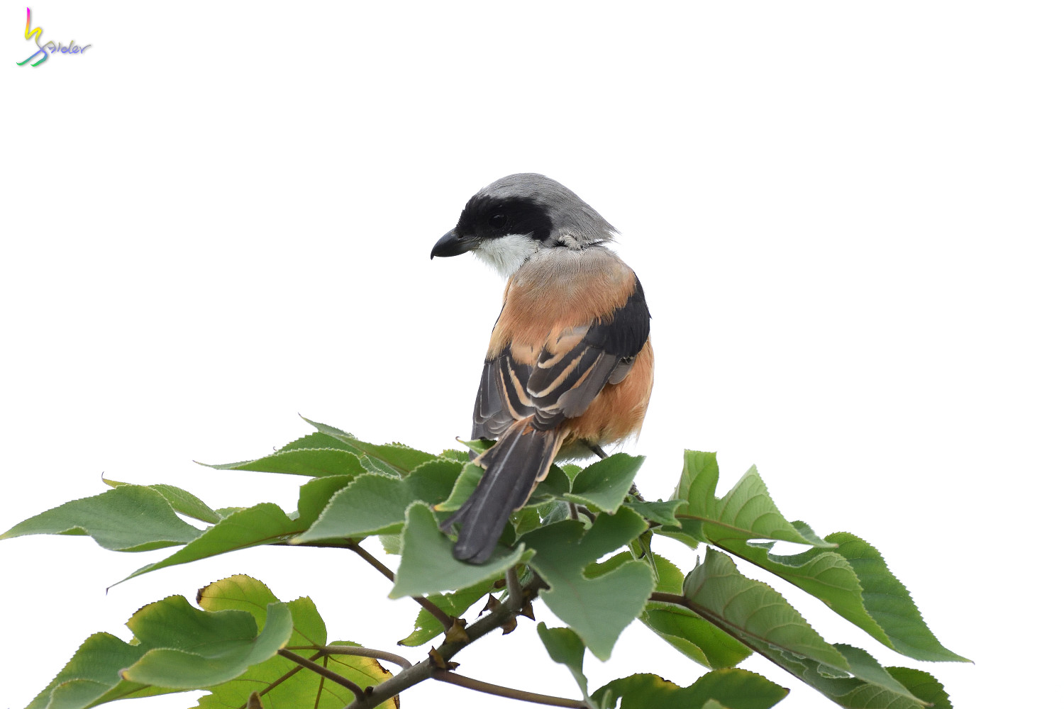 Long-tailed_Shrike_0796