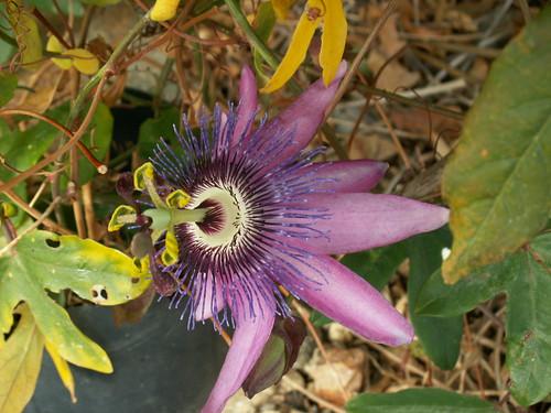 Passiflora x 'Lavender Lady' 36996328133_da382e09de