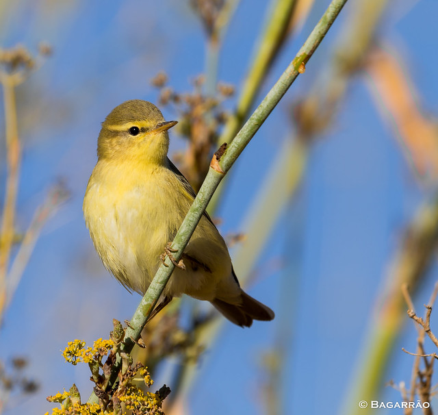 Felosa-musical | Willow warbler | Mosquitero musical | Pouillot fitis (Phylloscopus trochilus)