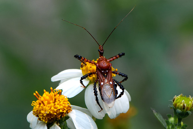 unidentified Reduviidae - an Assassin Bug