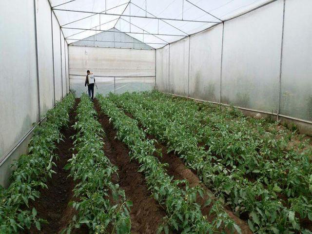 जगमोहन के पॉलीहाउस में टमाटर की खेती