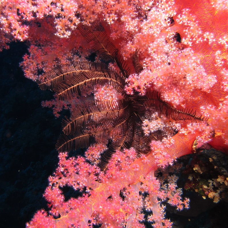 Colours, soft corals and feather star